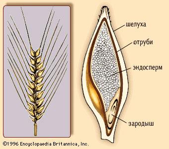 Ячменное зерно в разрезе